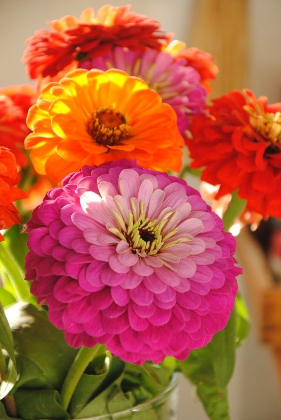 Zinnias the most overlooked, beautiful, colorful flower. I especially love blood-red ones.  They grow in my veggie beds right from seed---so easy!