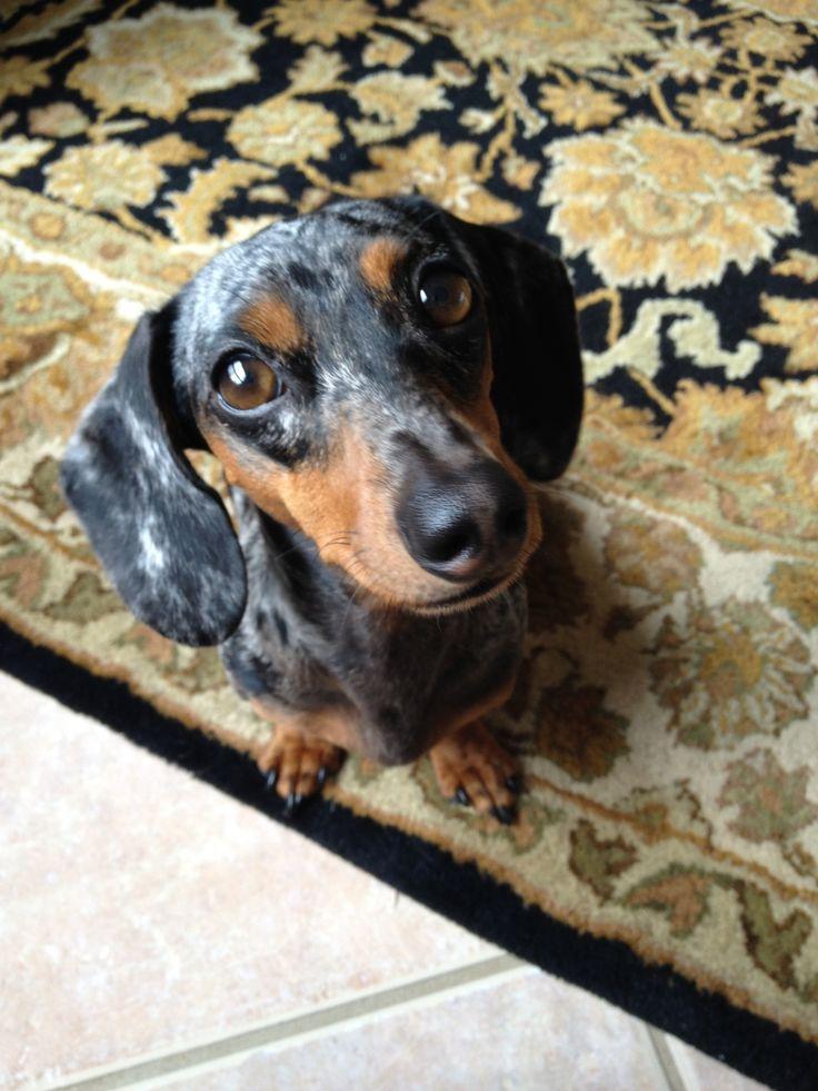 Lovely Lily - blue dapple dachshund