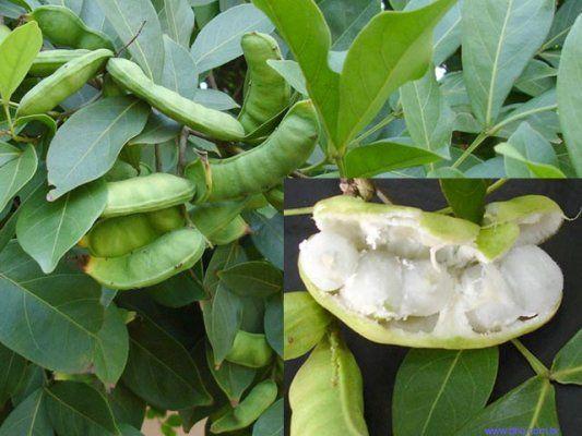 Ingá  Origem: região Amazônica Frutificação: de março a maio