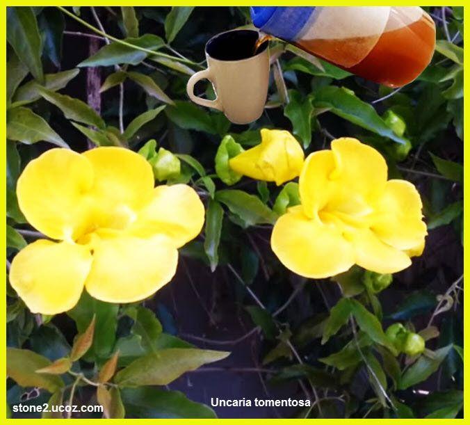 مخالب القط او ظفر القطة والفوائد الصحية لنبات Uncaria Tomentosa فوائد النبات فوائد معلومان عامه معلوماتية Plants Flowers Rose
