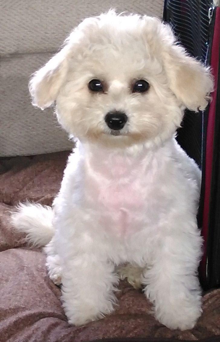 Auf Bing Von Www Arjanan Co Uk Gefunden Malteser Hunde Bilder