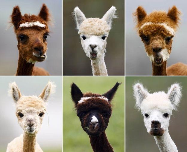Best Alpacas Images On Pinterest Llama Alpaca Alpacas And - 22 hilarious alpaca hairstyles