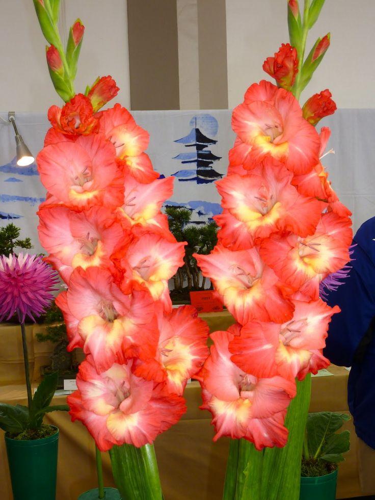 274 best images about gladiolus flower on pinterest. Black Bedroom Furniture Sets. Home Design Ideas