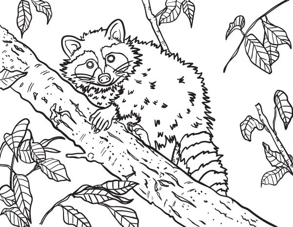 Free raccoon coloring page to download and print. Get it ...