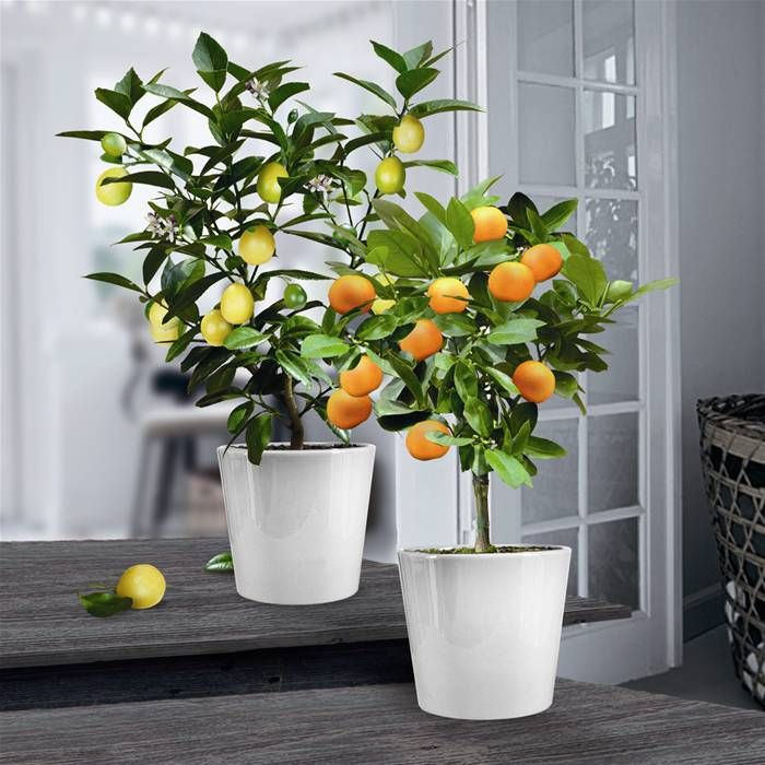 Sinaasappel- en Citroenboom Collectie (25cm) x 2