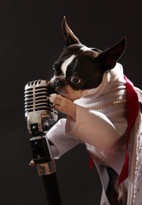 ♥ In loving memory of Boomer ♥  We are sending our deepest condolences to Sarah.   Boomer was a 7 year old Boston Terrier from Springfield Missouri, he become a big sensation as the only known performing Elvis Tribute Artist Dog. His talent  was discovered 2 years ago.Every time he wore his jumpsuit he would start dancing to the beat of Elvis's music. This soon evolved into an act where he walked on his back legs up to a very short microphone and danced…