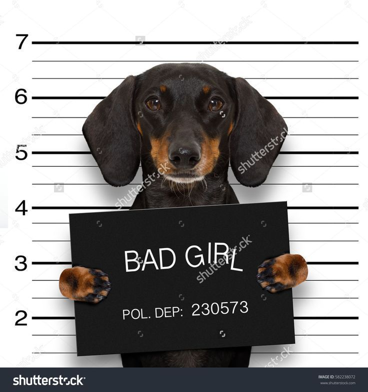 Dachshund Sausage Dog Holding A Police Department Banner As A