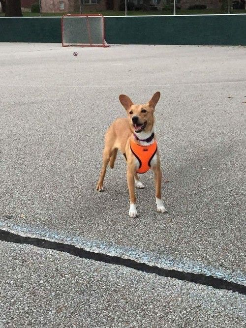 Name - Charlotte. Breed - Basenji/Italian Greyhound Mix. Location - Normal, IL. Gender - Female. Age - 2 Years. Small dog for adoption!!!!!  arrowdogrescue@gmail.com