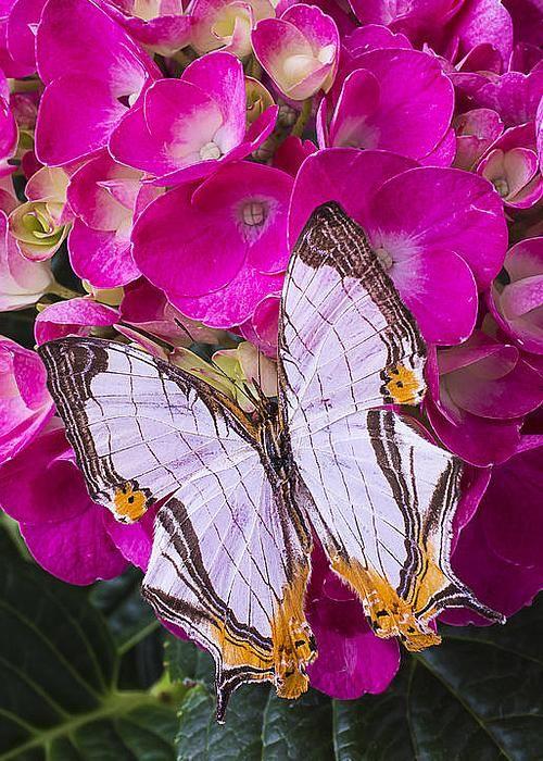 Cyrestis thyodamas Butterfly on Hydrangea by Garry Gay