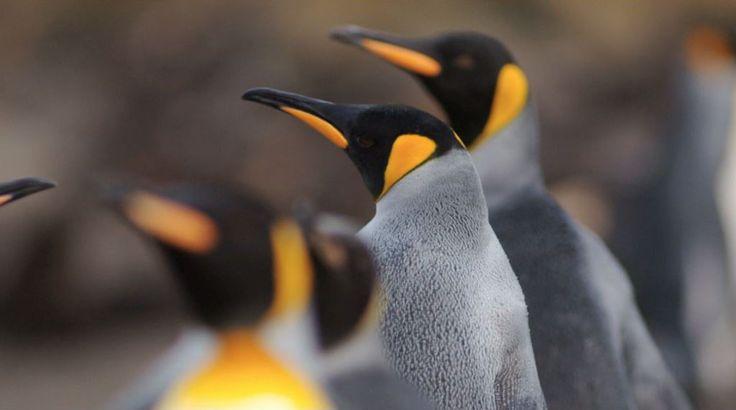 El Pingüino Rey es el segundo más grande y pesado de las 16 especies de pingüinos que existen. http://noticierostelevisa.esmas.com/por-el-planeta/fotos/