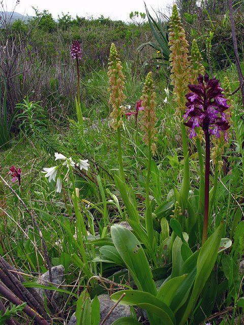 Isola Natura: Orchidee spontanee della Sardegna - le specie a ri...