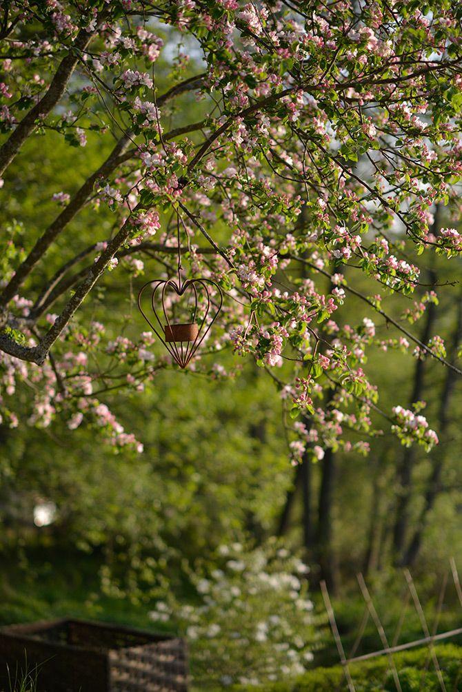 Äppelblom / Apple blossom