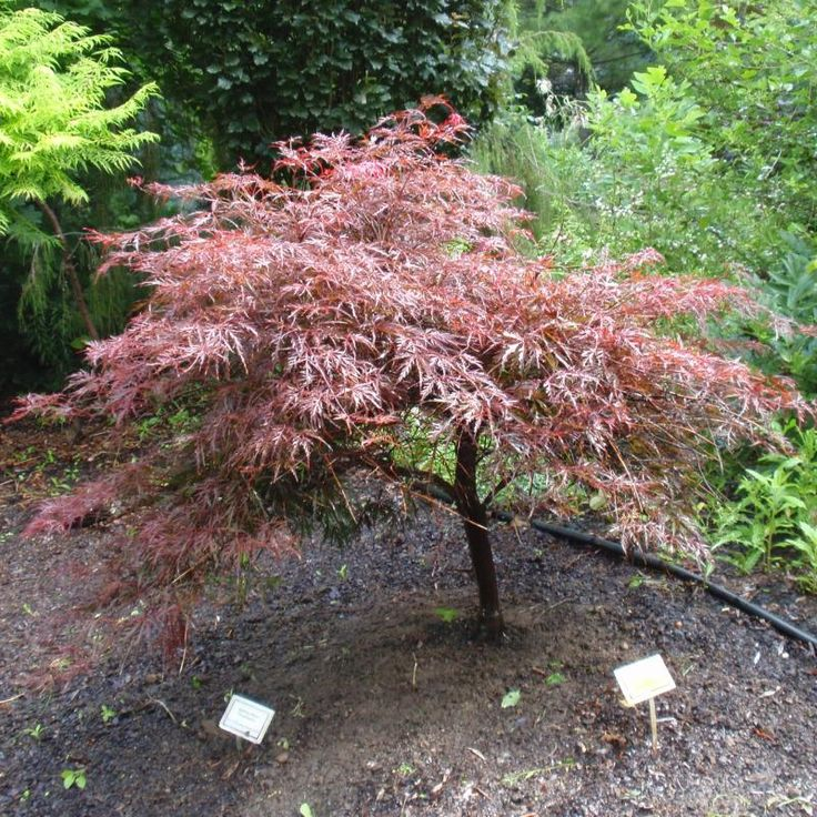 545 best images about japanese maples on pinterest for Maple trees for small gardens