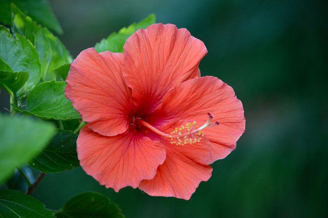Learn how to grow hibiscus flowers, the gorgeous state flower of Hawaii. Several hibiscus varieties can handle colder climates and shorter days.