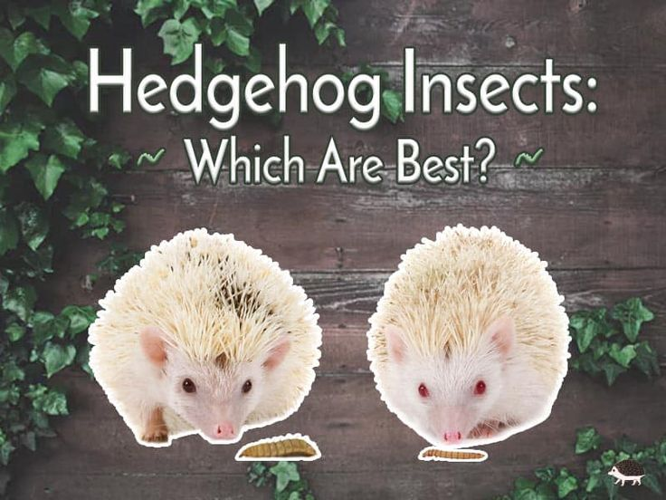 Hedgehog Insects Which Are Best Hedgehog Hedgehog Care Hedgehog Food
