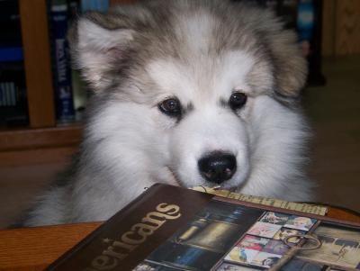 Alaskan Malamute Dogs| Alaskan Malamute Dog Breed Info & Pictures | petMD