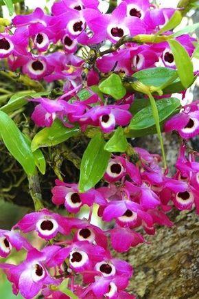 Características de la orquídea Dendrobium compactum