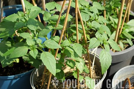 Tips for Growing Tomatillo in Containers