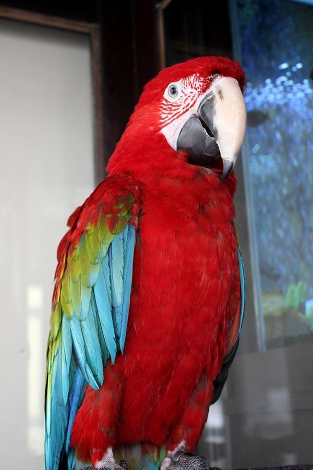 Macaw (Ara) Papağanı - Şakir