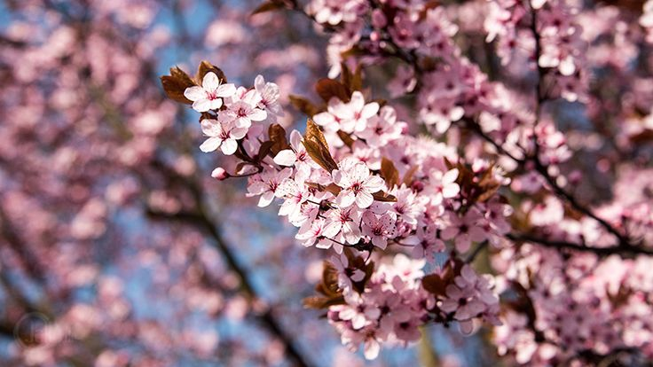 Wallpaper Frühling mit rosa Blüten