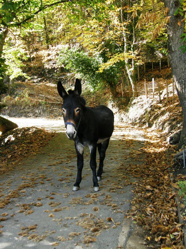 L'âne corse