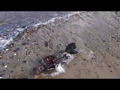 """Man claims to have found """"dead mermaid"""" on Great Yarmouth beach - Home - Eastern Daily Press"""
