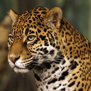 PROTECT THE SOUTHWEST'S JAGUAR HABITAT     Glimpses of a jaguar roaming the Santa Rita Mountains of southern Arizona give new hope for this majestic big cat's return to the United States. But these rare sightings also show how much more is needed to recover jaguar populations here.