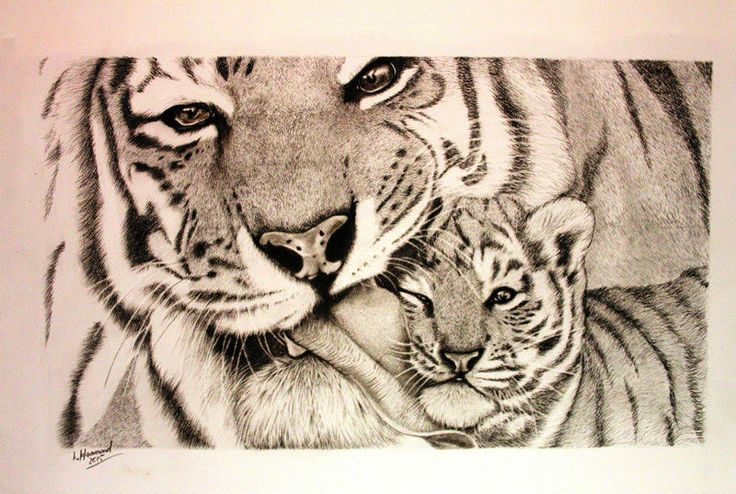Tiger kisses Charcoal on Watercolour paper 75cm by 55cm