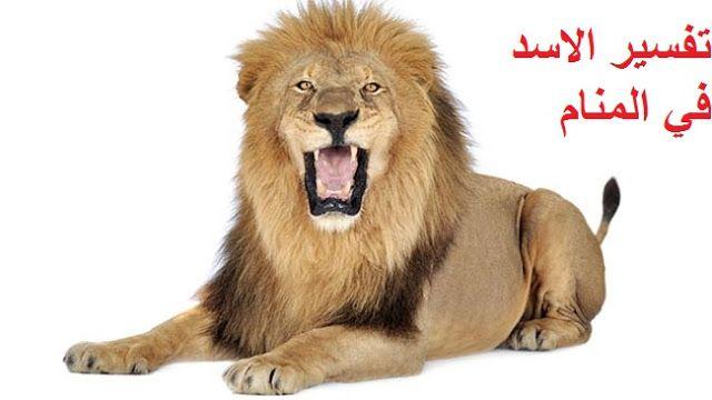 رؤية الأسد النمر في الحلم مجلة رجيم Lion Panthera Panthera Leo