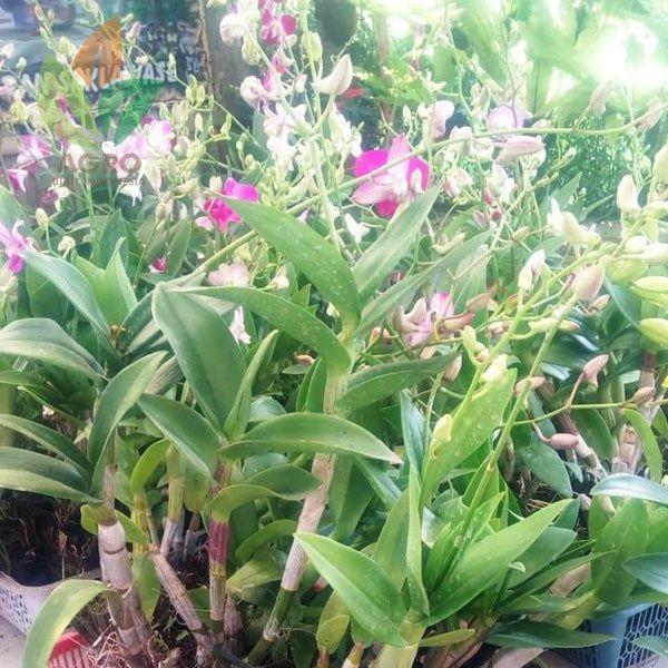 Jual Koleksi Tanaman Bunga Anggrek Siap Kirim Agro Bibit