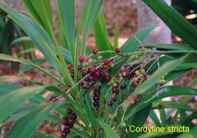 Shade tolerant - Cordyline stricta • Australian Native Plants Nursery • Plants • 800.701.6517