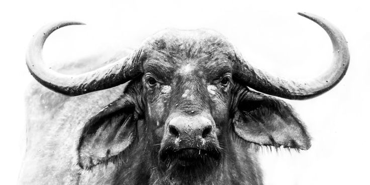 Cape Buffalo Buffalo Picture Buffalo Photo by GreyGhostNaturePhoto