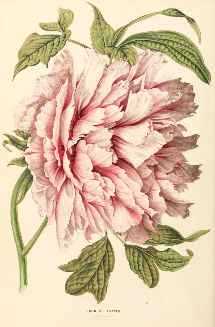 4 - Annales d'horticulture et de botanique, ou Flore des jardins du royaume des Pays-Bas, | Peony (gorgeous!)