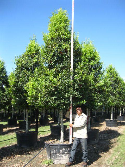 Savannah Holly Tree Form - 100 Gallon | Garden | Pinterest ...