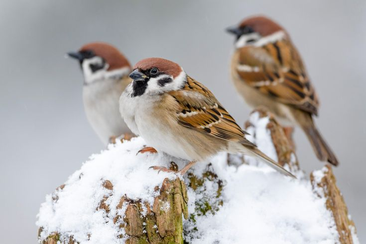 The week in wildlife – in pictures. Tree sparrows perch on a snow-covered tree trunk in Almelo, The Netherlands. Photograph: Alex Huizinga/Alamy