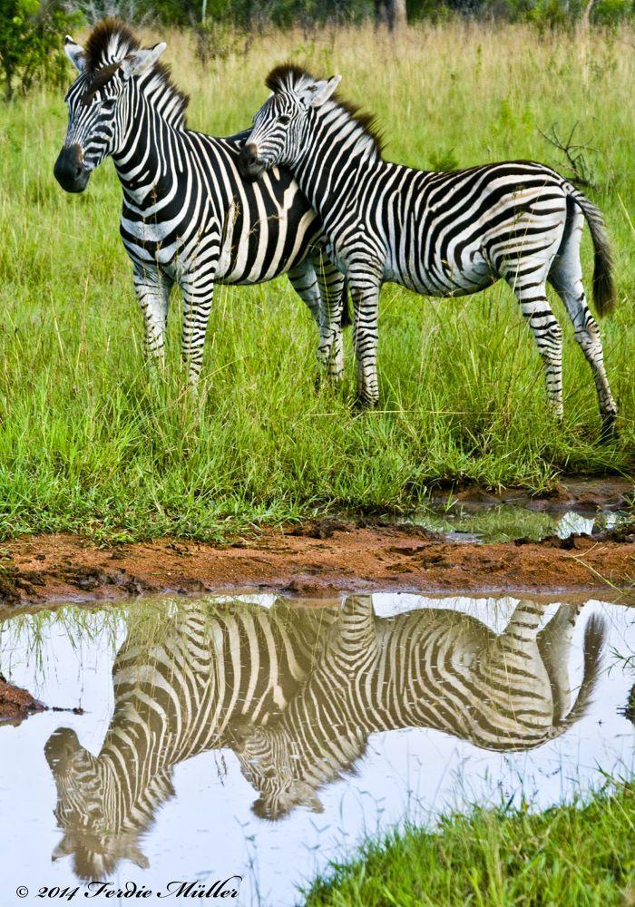 Zebra reflection  by Ferdie Muller