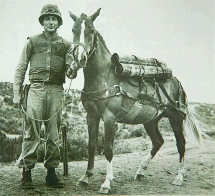 Staff Sergeant Reckless (right) with her primary trainer Platoon Gunnery Sergeant Joseph Latham. Reckless earned several awards and decorations including two Purple Hearts (for the wounds received during the Battle of Vegas). She had four foals there: colts Fearless Dauntless and Chesty (probably after Chesty Puller). Her last offspring died a month after birth and was unnamed.
