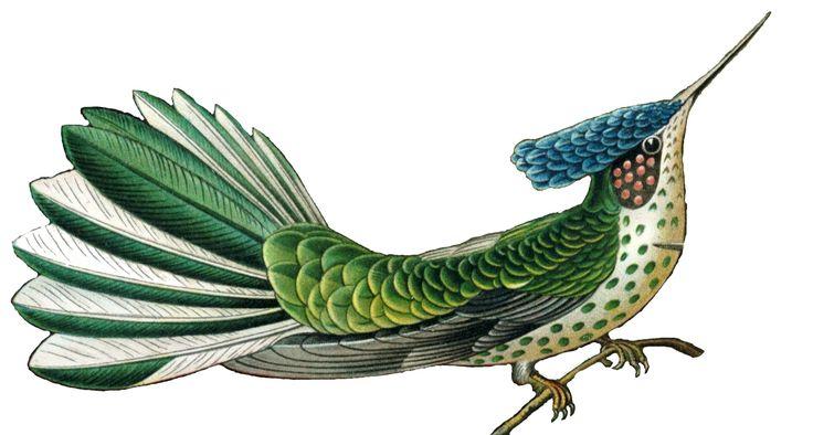 File:Haeckel - Hylocharis Stokesii.jpg