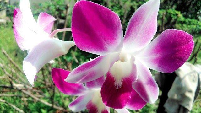 Fantastis 19 Gambar Bunga Anggrek Bulan Terindah Di Dunia Asal Usul Bunga Anggrek Indah Cantik Steemit 16 Jenis Anggrek Termahal 2020 Di Plants Flowers Rose