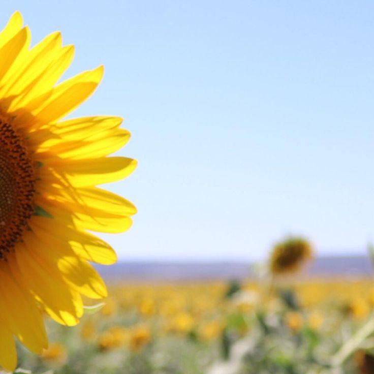 @courtneygaye_travels🌻You sure do make it a sunny day~ #courtneygaye_travels #canon #eos80d #nobby #queensland #sunflower #australia #seeaustralia #living_australia #exploreaustralia #discoveraustralia #downunder #straya #australiagram #australialovesyou #ig_australia #loves_australia #australia_shotz #unlimited_australia