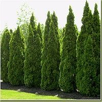 The Emerald Green Arborvitae, Thuja occidentalis 'Smaragd', also known as Emerald Green Thuja is a fast-growing, hardy arborvitae.  It would make a superb privacy hedge along your property line or beside your backyard pool.  These also make an excellent wind-break or foundation plant.
