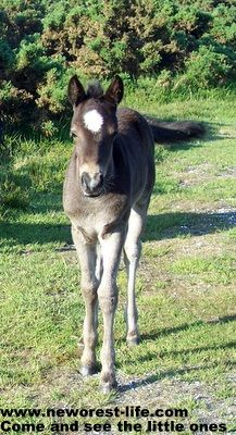 New Forest foal - she's all grown up now!