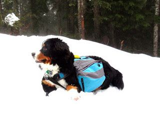 Seizure-Alert Dogs: A dog trained to help those who suffer from seizures may predict and warn in advance of a seizure (seizure-alert dog), provide assistance during a seizure (seizure-response dog), or both. #dogs #epilepsy #seizurealertdogs #bernesemountaindog (Article from MetaphoricalPlatypus.com)