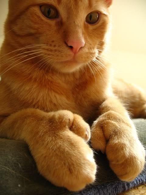 best 25 polydactyl cat ideas on pinterest hemingway