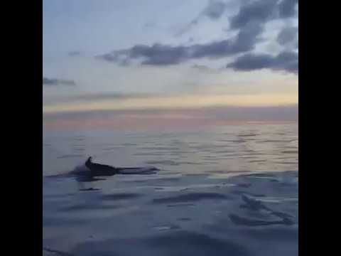 The Dolphins of Portofino at sunset!