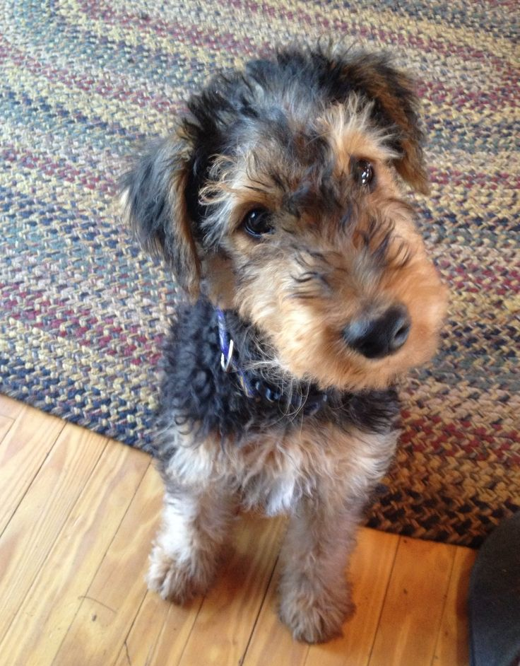 63 best airedale terrier images on pinterest airedale. Black Bedroom Furniture Sets. Home Design Ideas