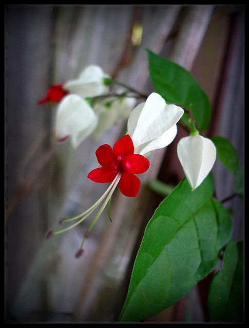 Bleeding heart vine, I have bought several and refuse to believe they do not grow in my area- hence, now bleeding hearts for me.