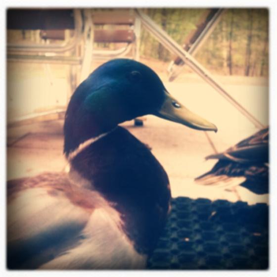 Fantastic Mr Duck
