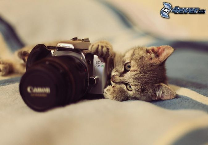 Graues Kätzchen, Kamera, Canon EOS 3000