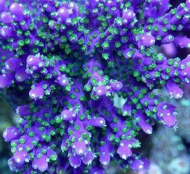 Aquatic Connection Live: Specials on Saltwater Fish, Live Corals, Marine Invertebrates, Aquarium Live Rock